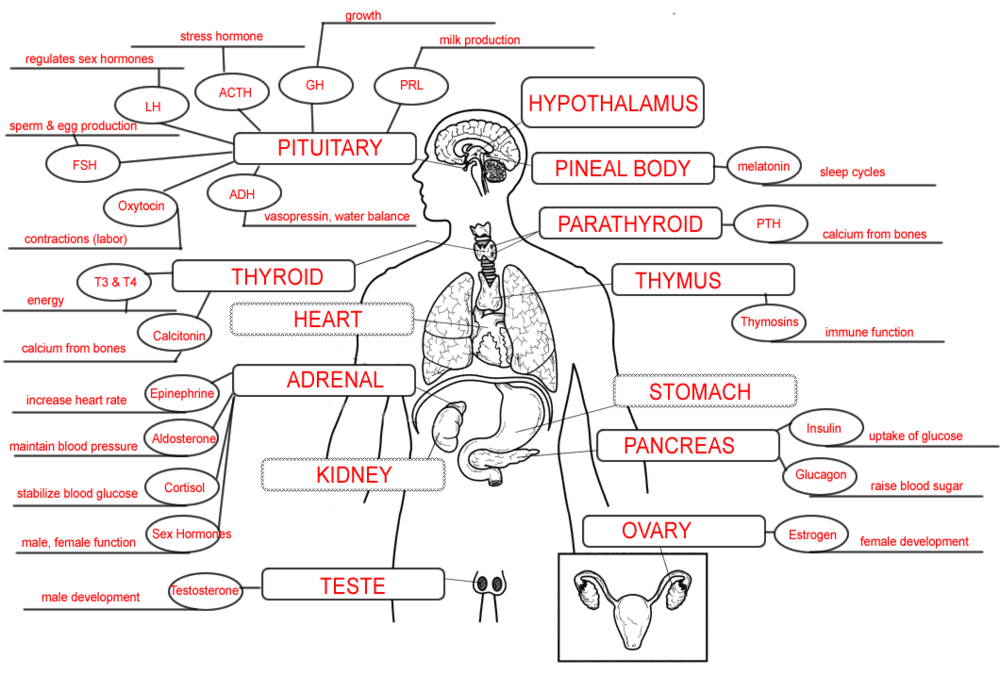 endocrine map key.png