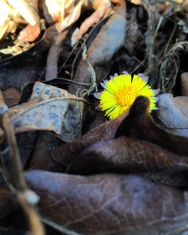 Coltsfoot2016.jpg