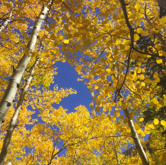 Lovely golden leaves abound during a hike at the Maroon Bells in Aspen, Colorado.