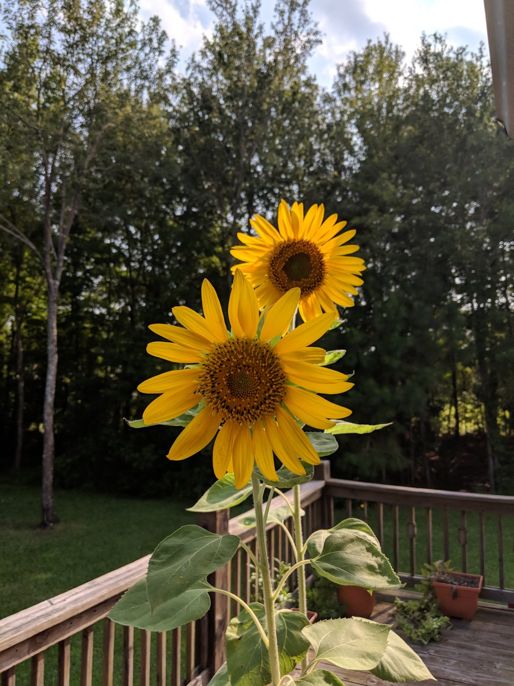gardensunflowers2018.jpg