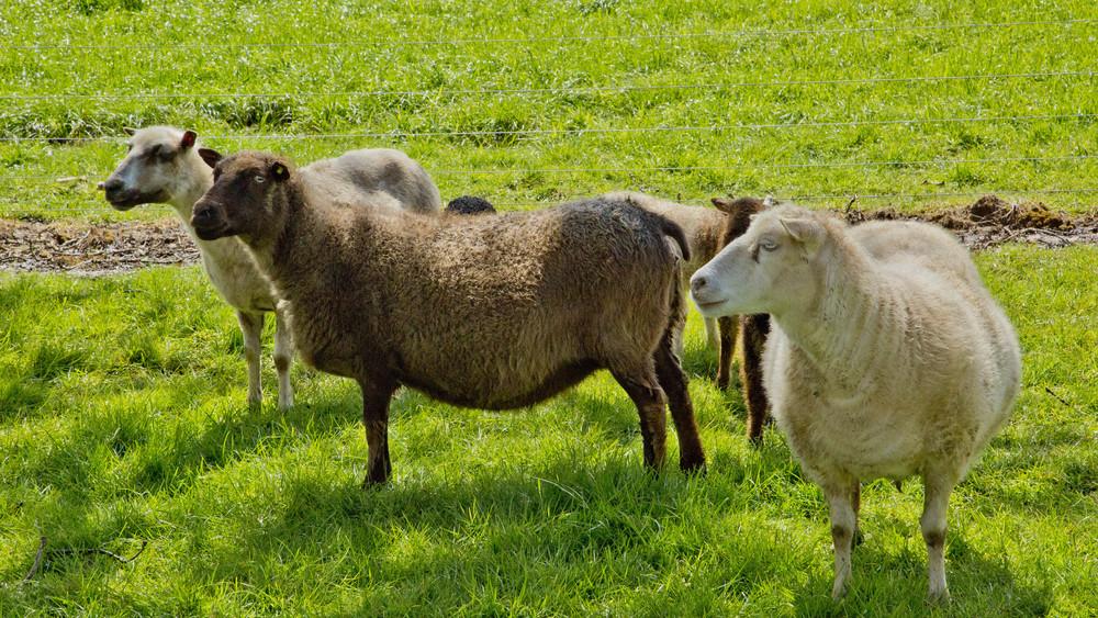 Icelandic Ewes