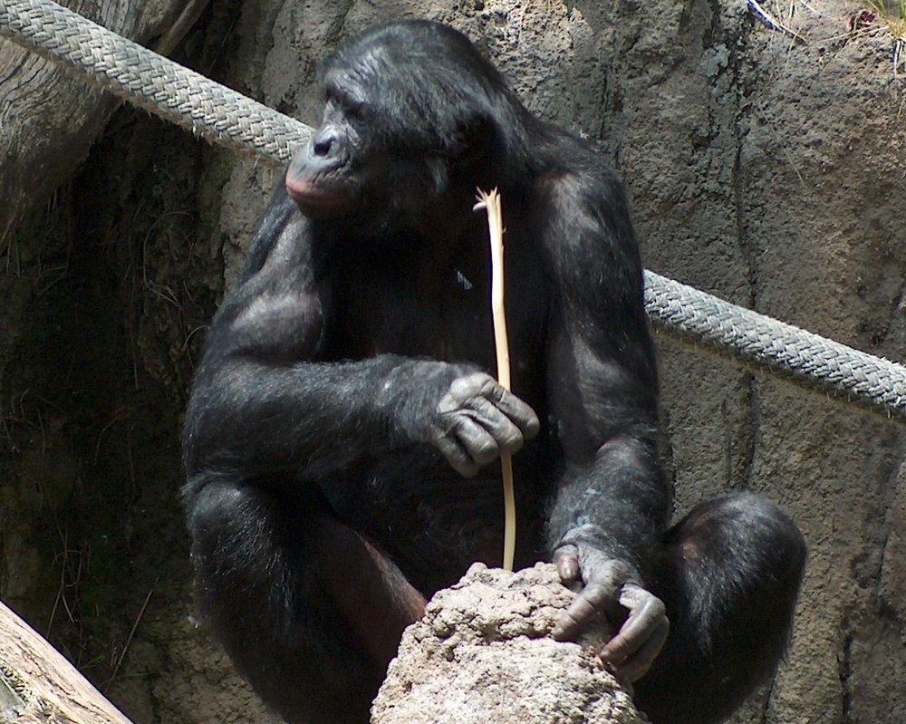 La moderna primatología ha desacreditado la anterior frase de Marx