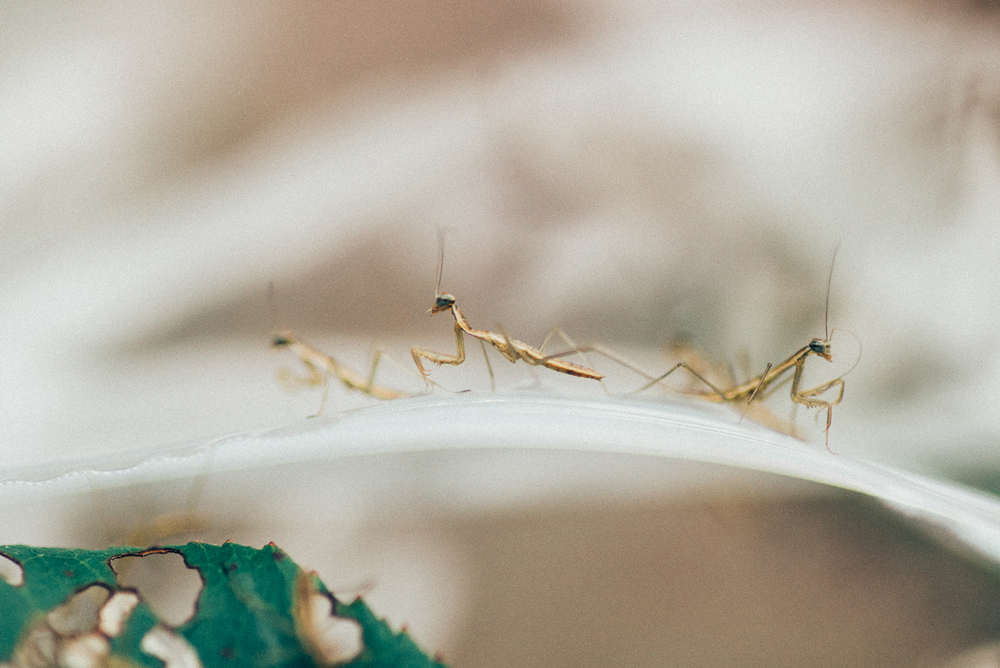 Baby Praying Mantis Egg Hatching in East Tennessee