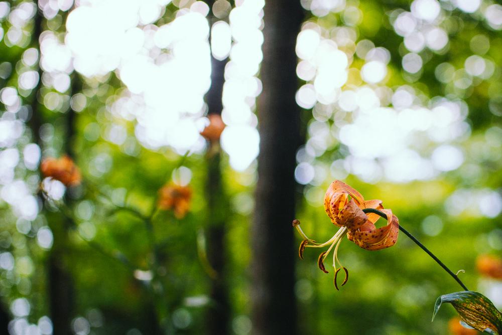Wildf Lilies Chimney Tops Hiking Trail in Smoky Mountain National Park near Gatlinburg TN