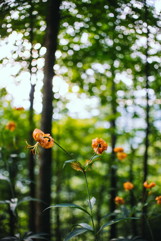 Wild Lilies | Chimney Tops Hiking Trail in Smoky Mountain National Park near Gatlinburg TN