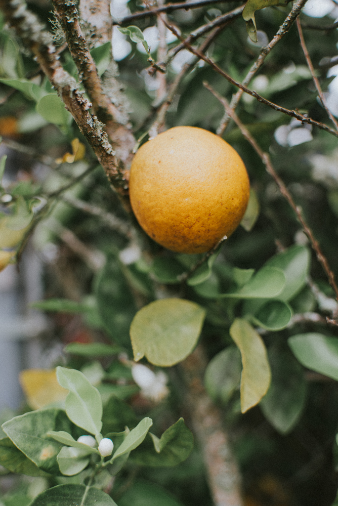 Florida Oranges | Tampa Bay Area Photographer | Aloha Shii