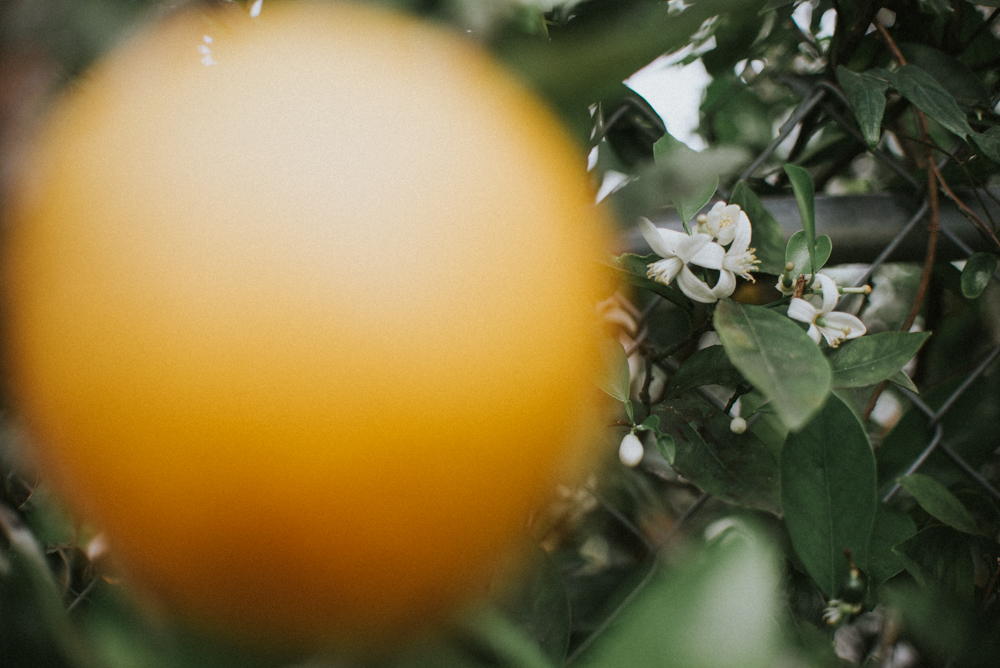 Florida Oranges & Bees | Tampa Bay Area Photographer | Aloha Shii