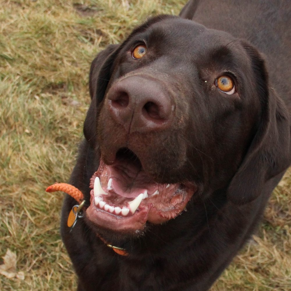 Chief was one of our first Boarding School attendees. And our favorite big, goofy, chocolate lab.