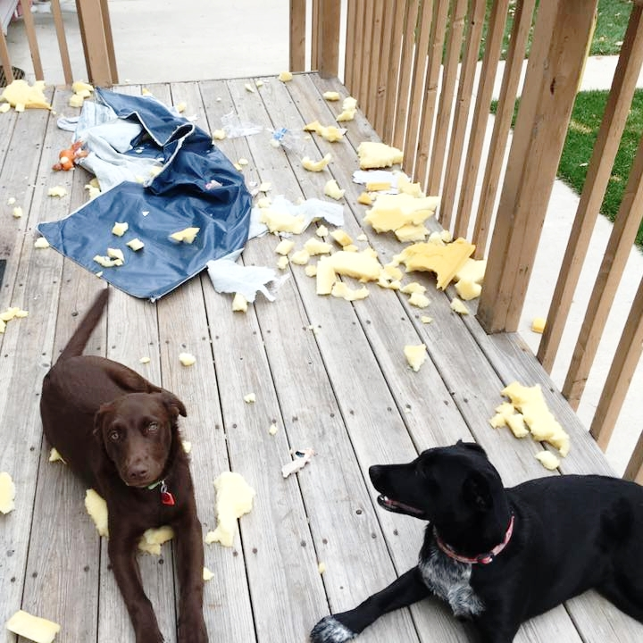 bad-dog-training_labrador