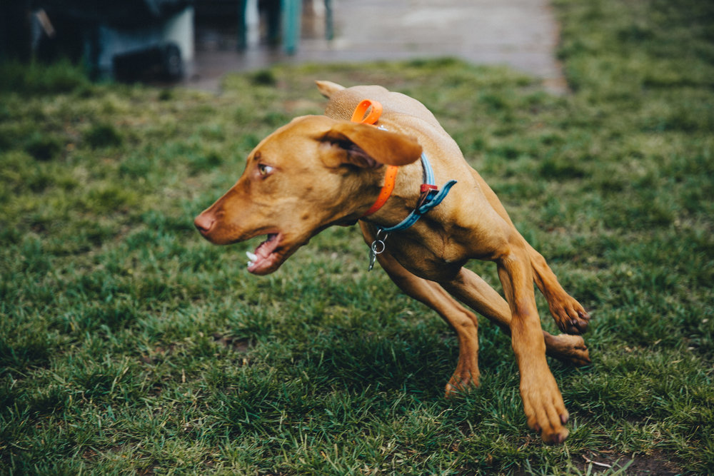 Vizslas are extremely active dogs and need an active home to be happy and healthy | Dog Ownership 101 | Bakers Acres K9 Academy Blog