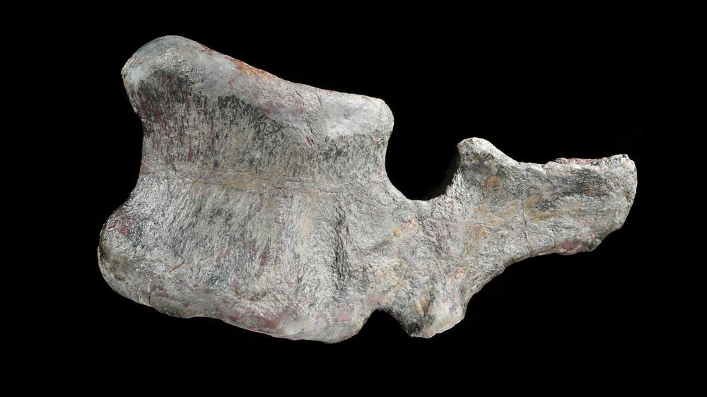 Barosaurus vertebra