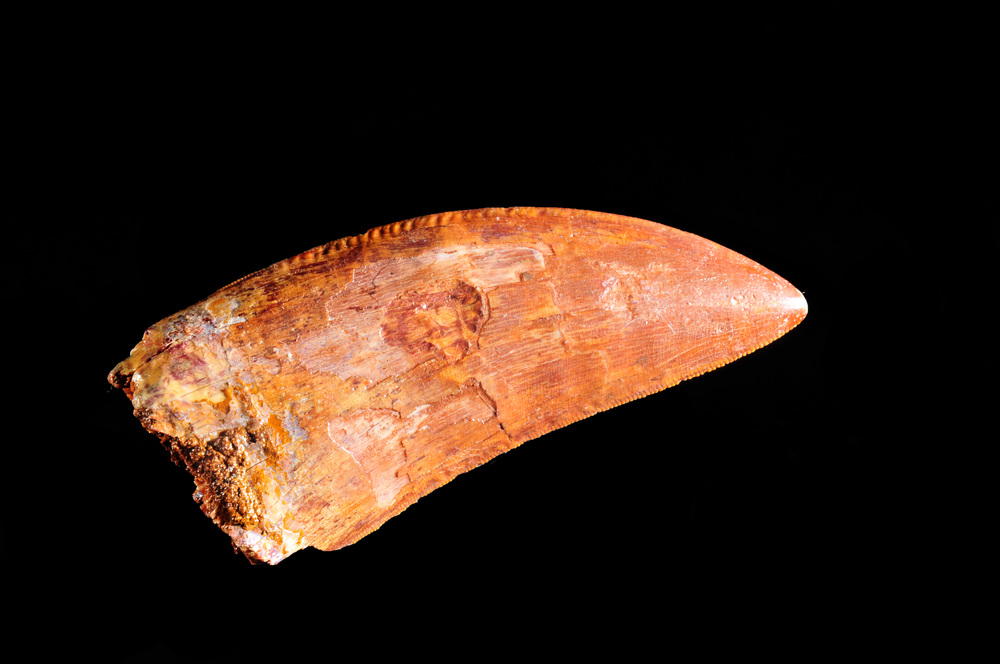 Carcharodontosaurus fossil tooth