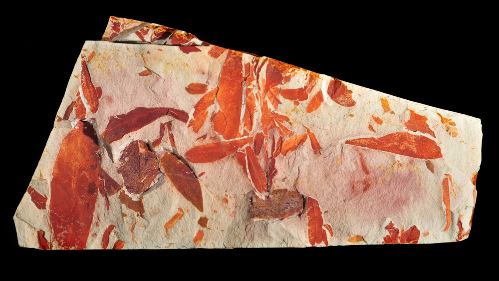 Glossopteris leaf fossil