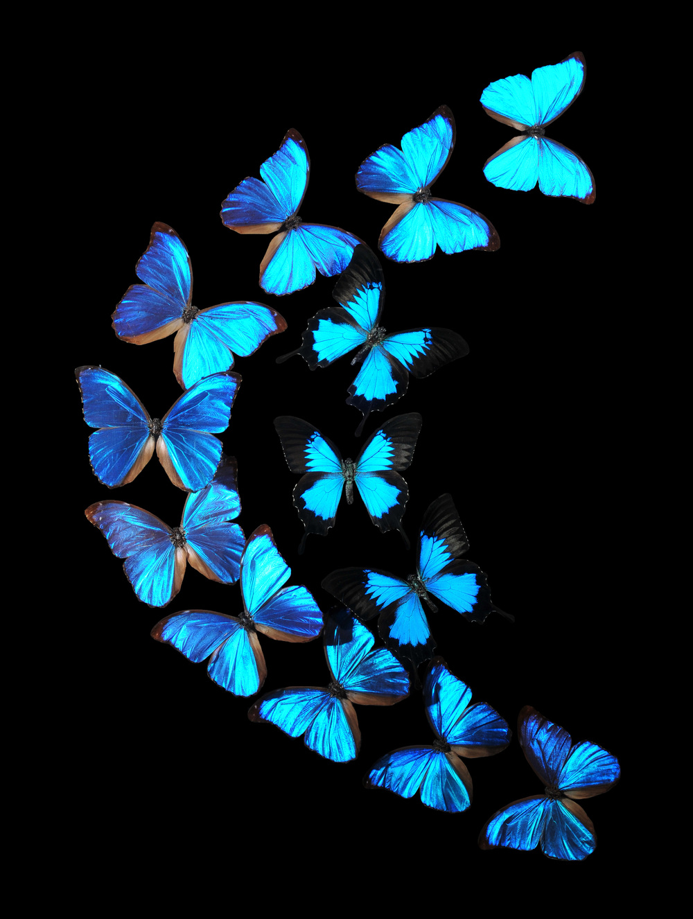 Blue Morpho Flight (18x24, 24x36)