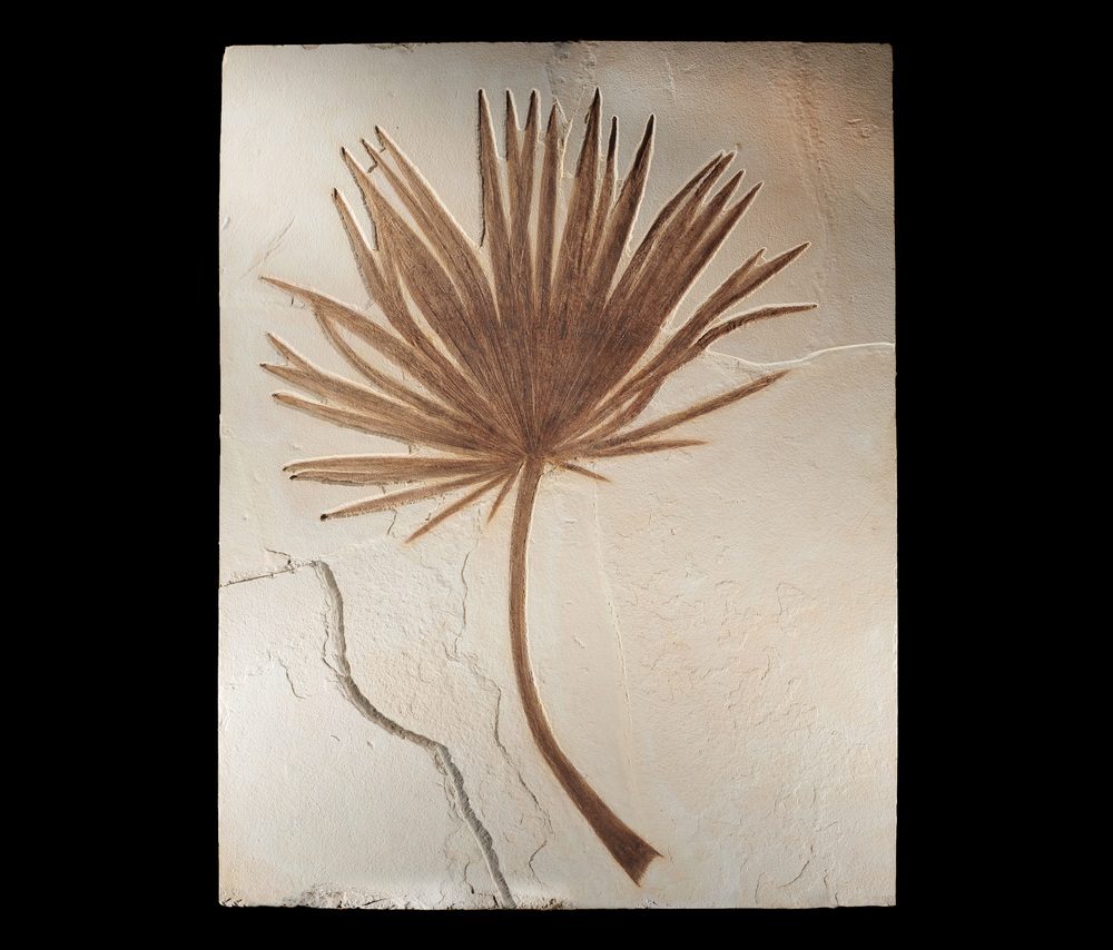 Fossil Palm from Wyoming