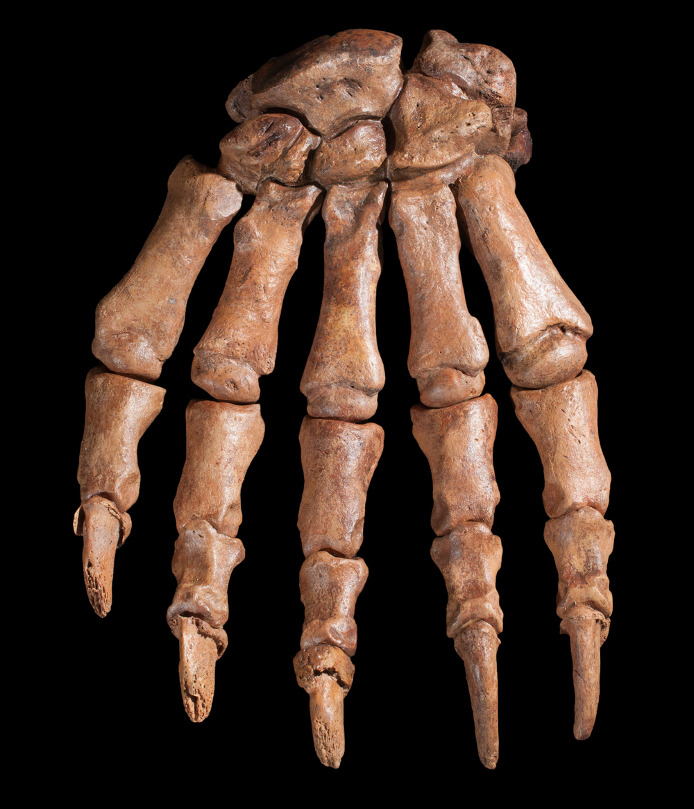Cave bear paw