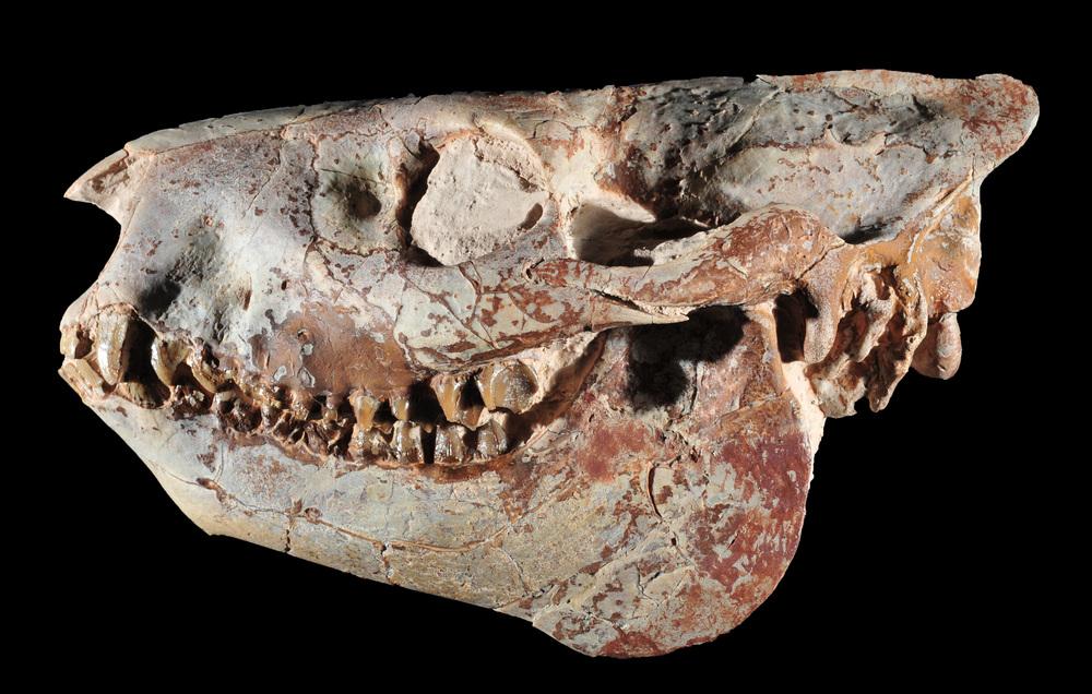 Oreodont skull