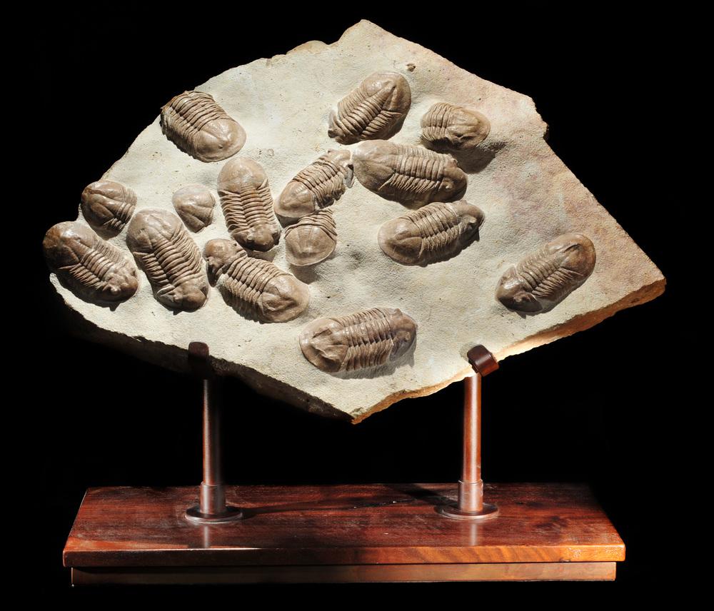 Asuphus trilobites mass mortality