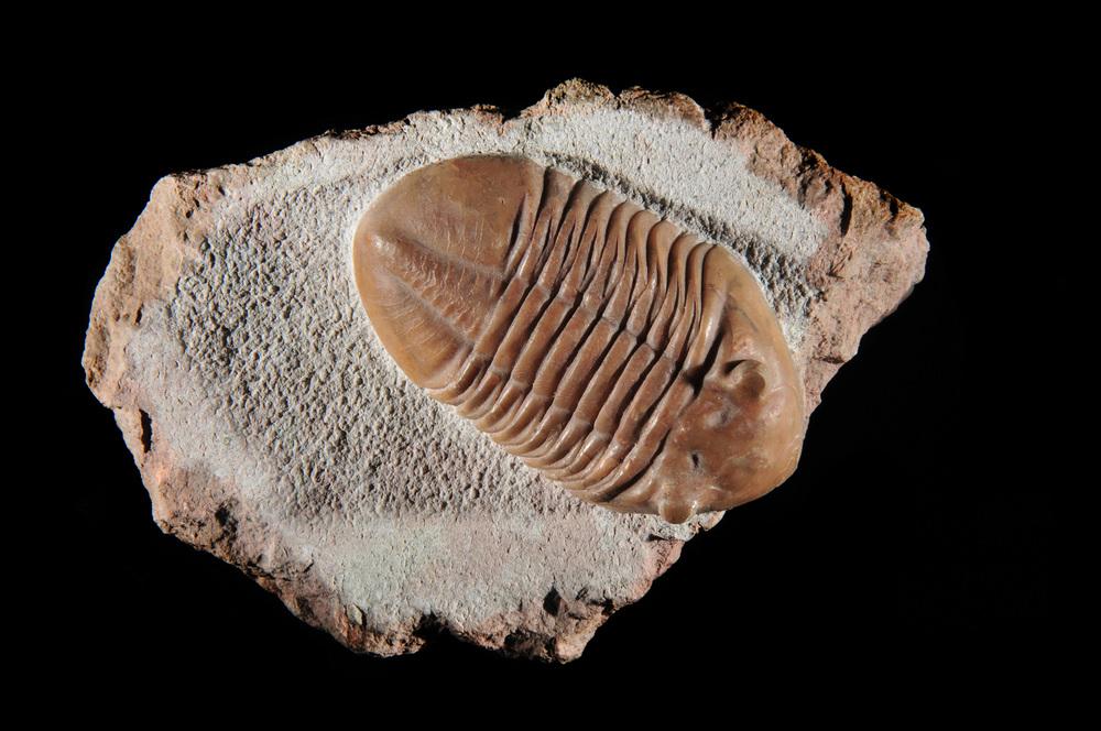 Asuphus trilobite