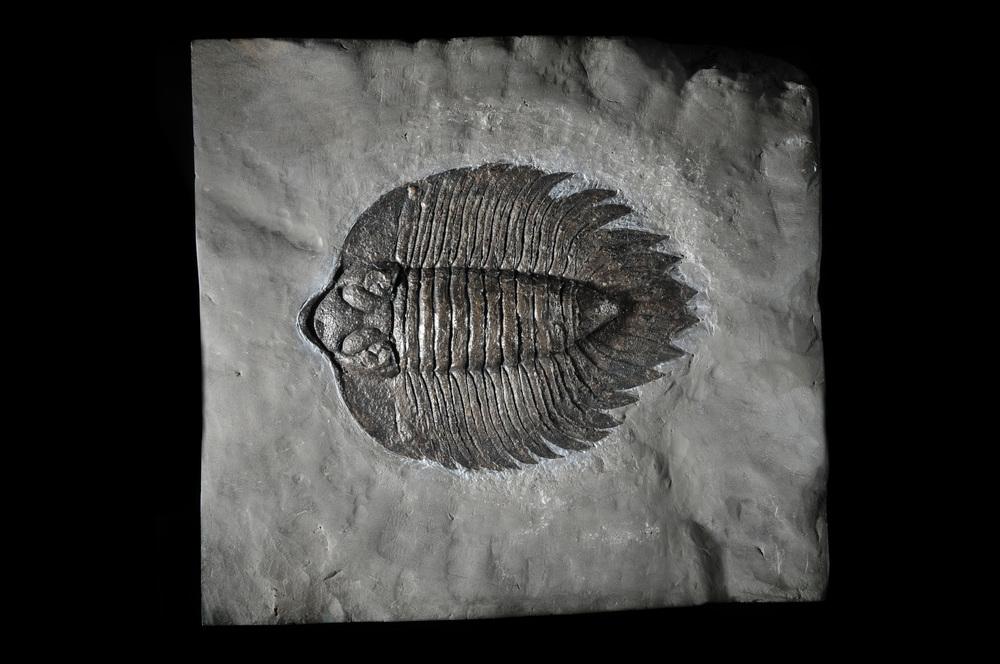 Arctinurus boltoni trilobite