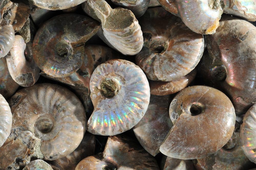 Iridescent Ammonites