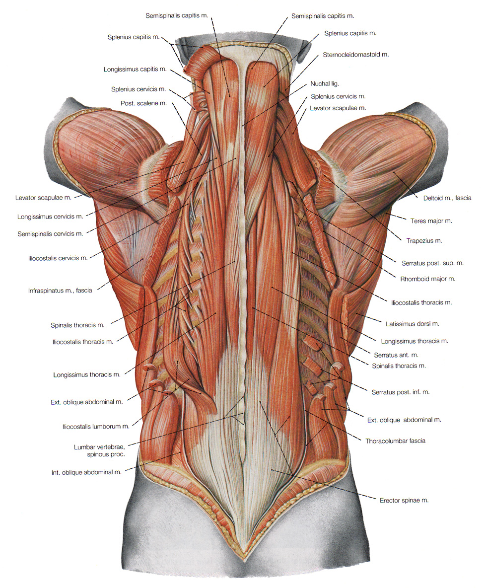 A small visual of all 6 layers of back muscles together in one picture.