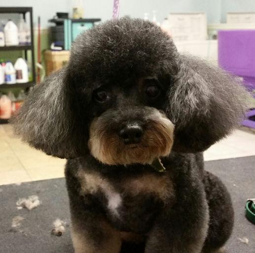 Sadie - Toy Poodle