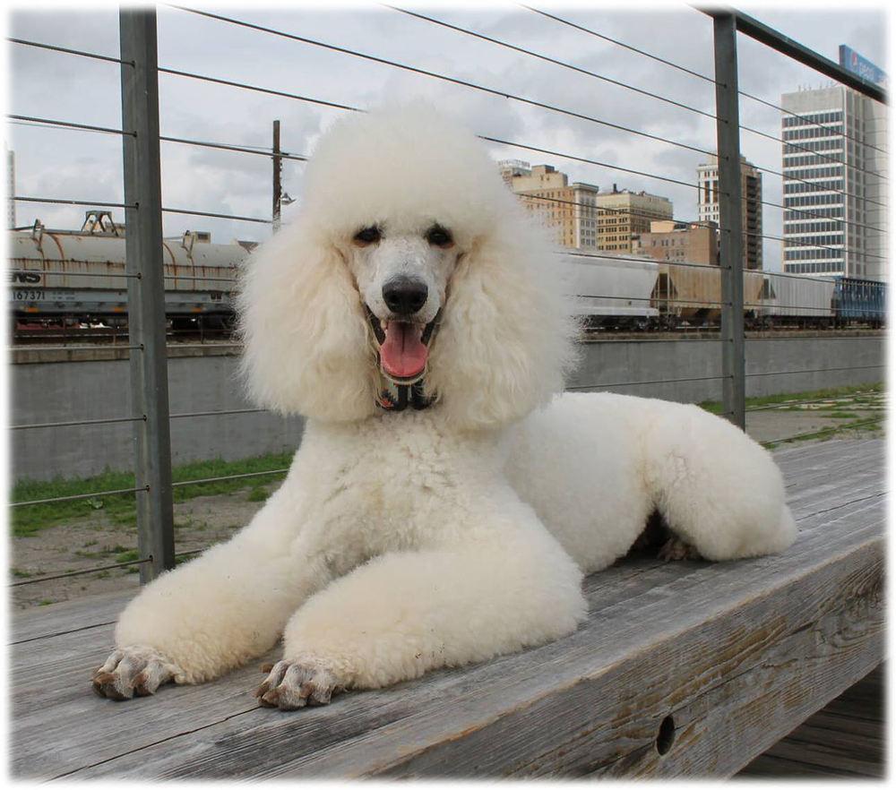 Sadie of Steel City puppies