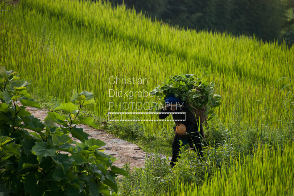 Rice Field in Yunnan