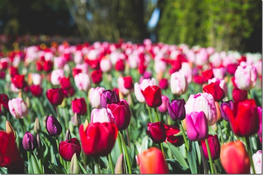 36-tulips-19