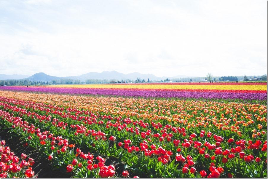 39-tulips-42
