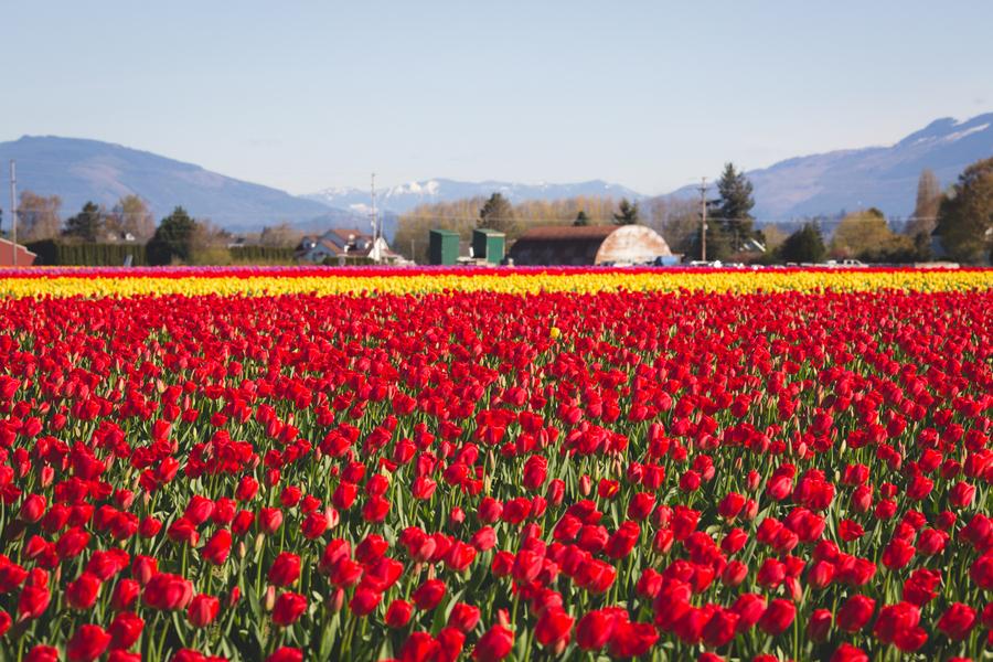 06-tulip-22.jpg