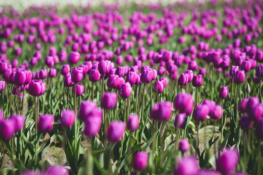 13-tulip-44.jpg