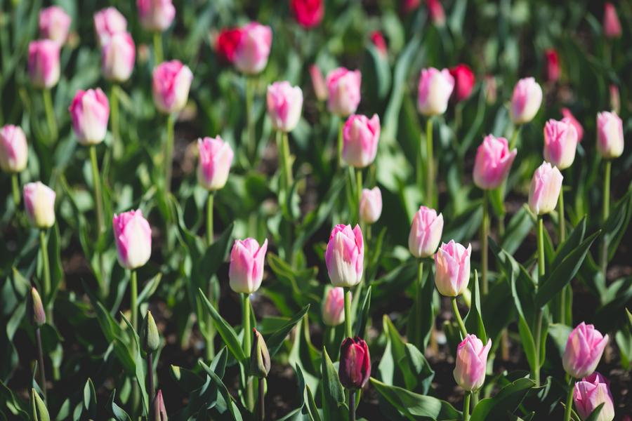 23-tulip-77.jpg