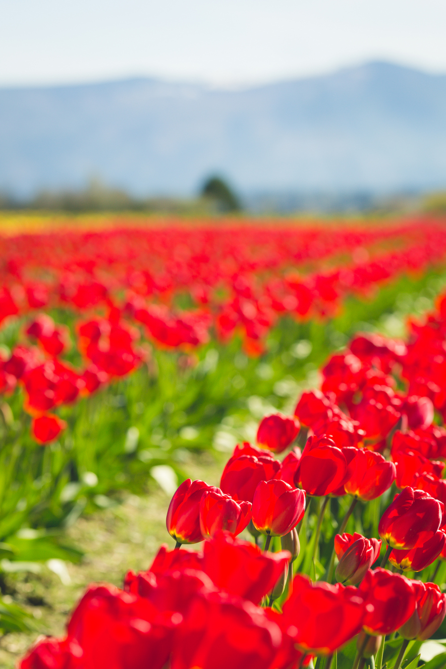 1-tulip-38.jpg