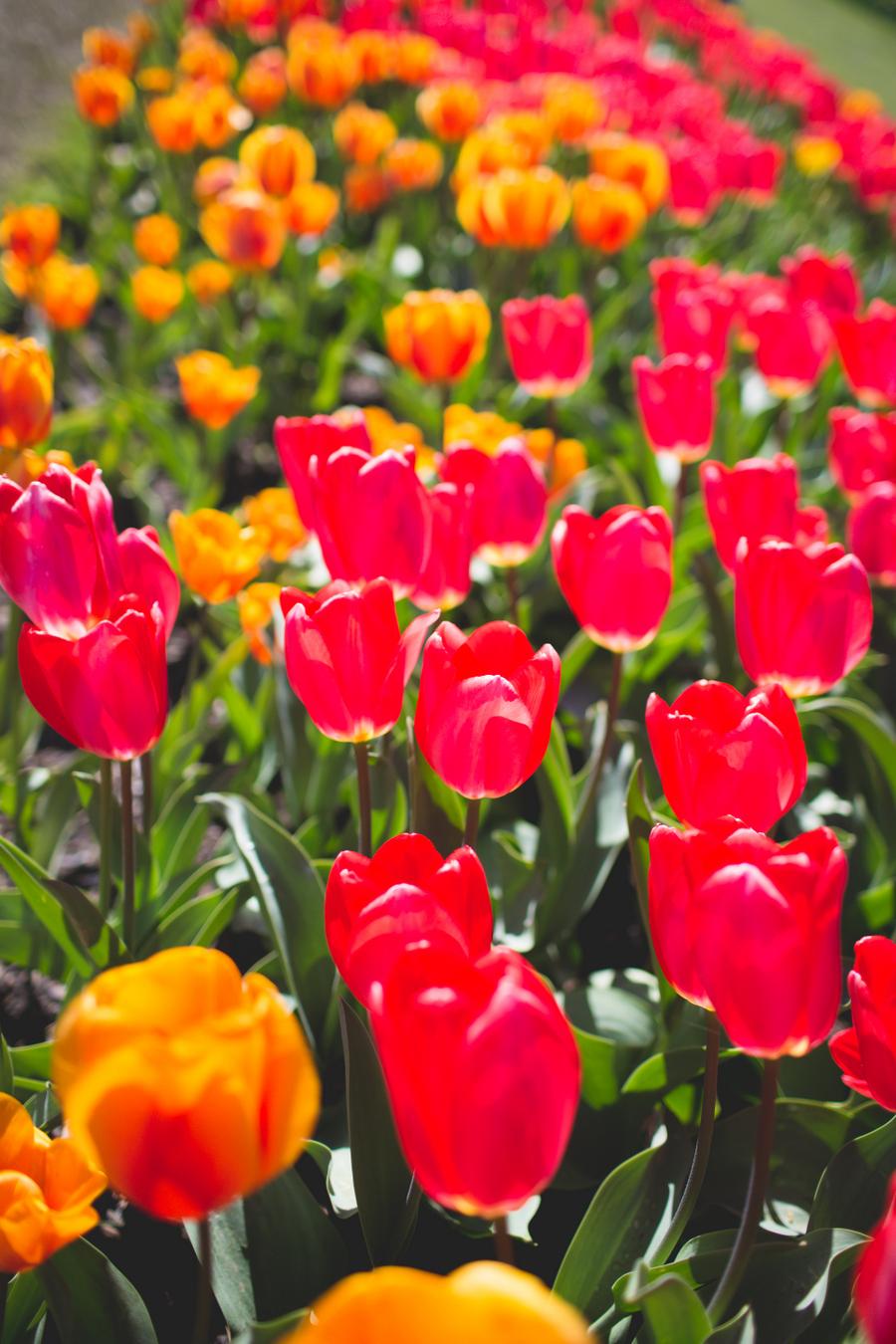 2-tulip-79.jpg