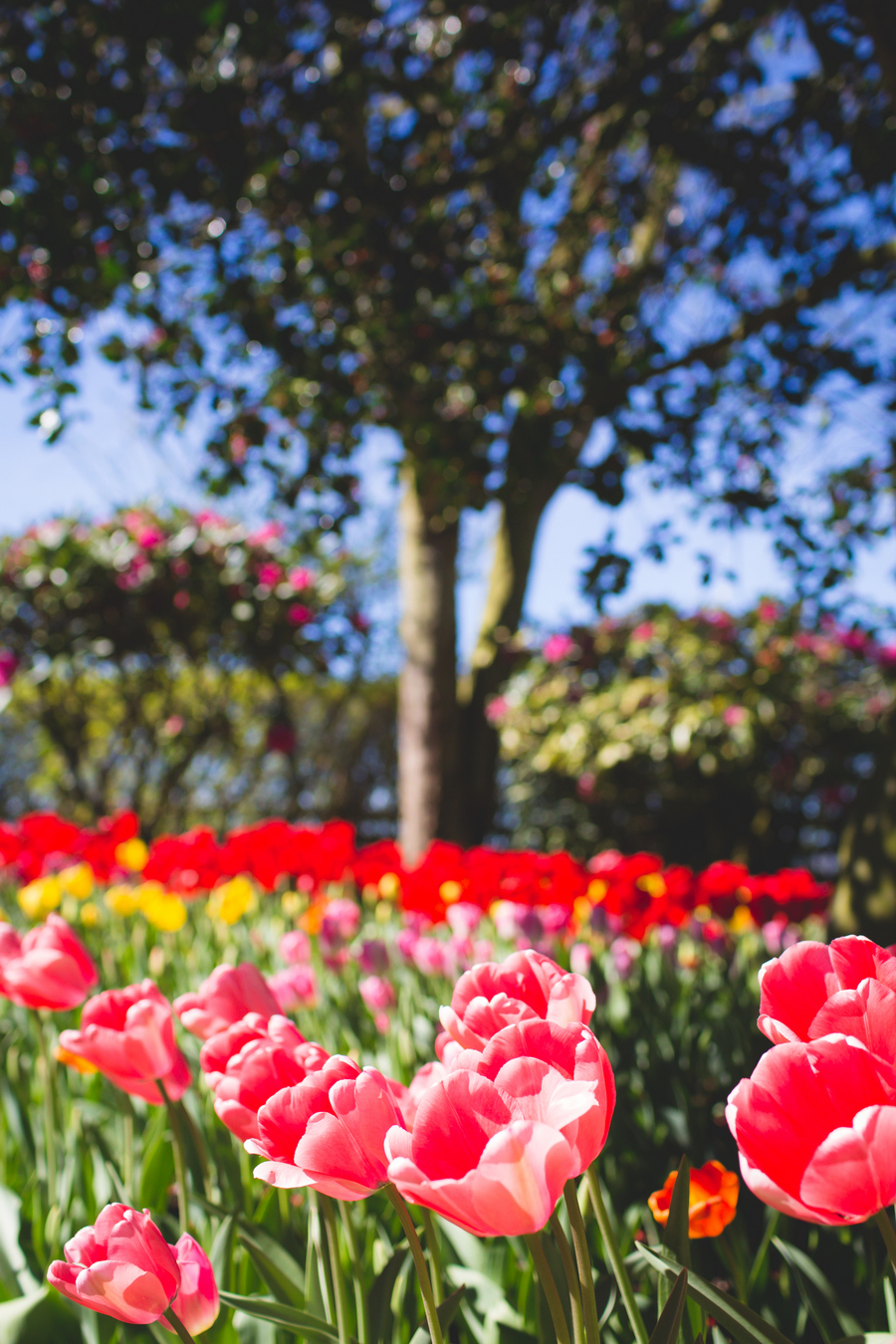 3-tulip-85.jpg