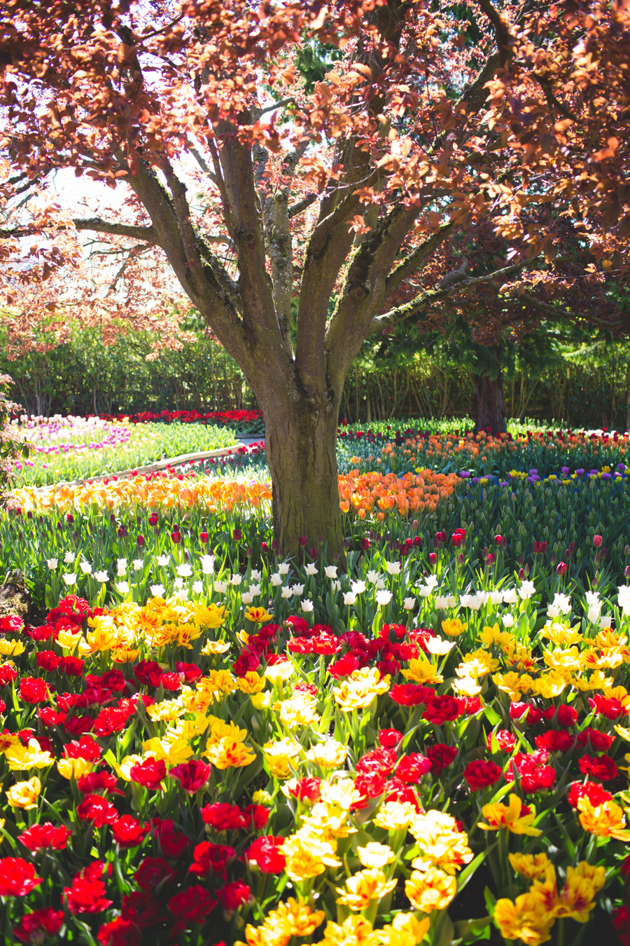 4-tulip-90.jpg