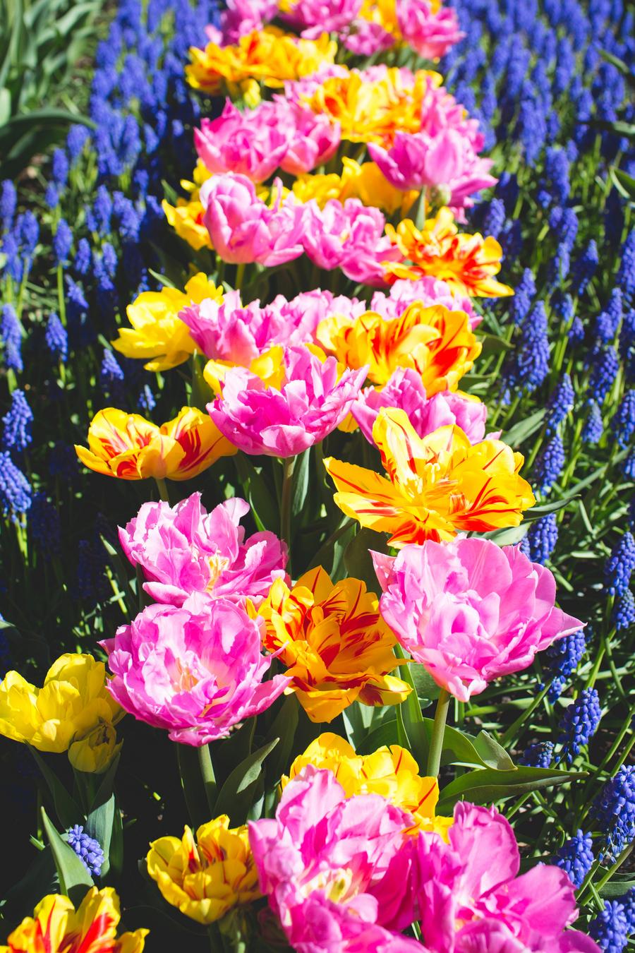 5-tulip-95.jpg