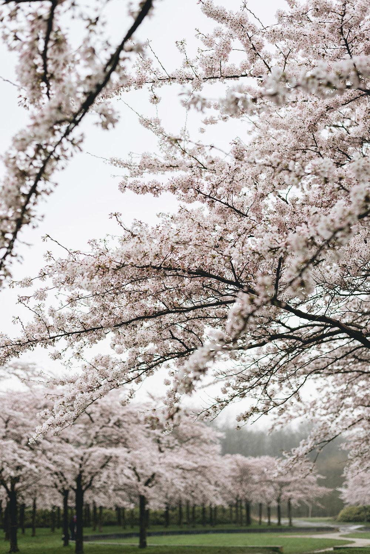 hanami-sakura-cherry blossom