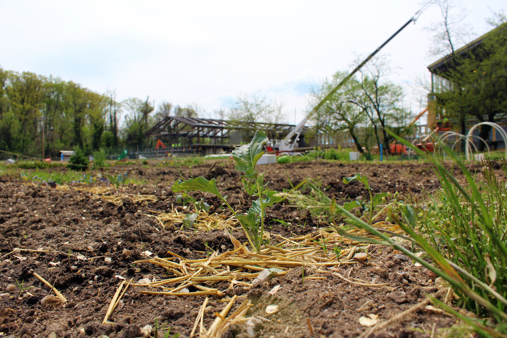 A little radish sprouts through some hay in one of the garden plots as a crane looms behind it. (Photo by Robin Dienel.)