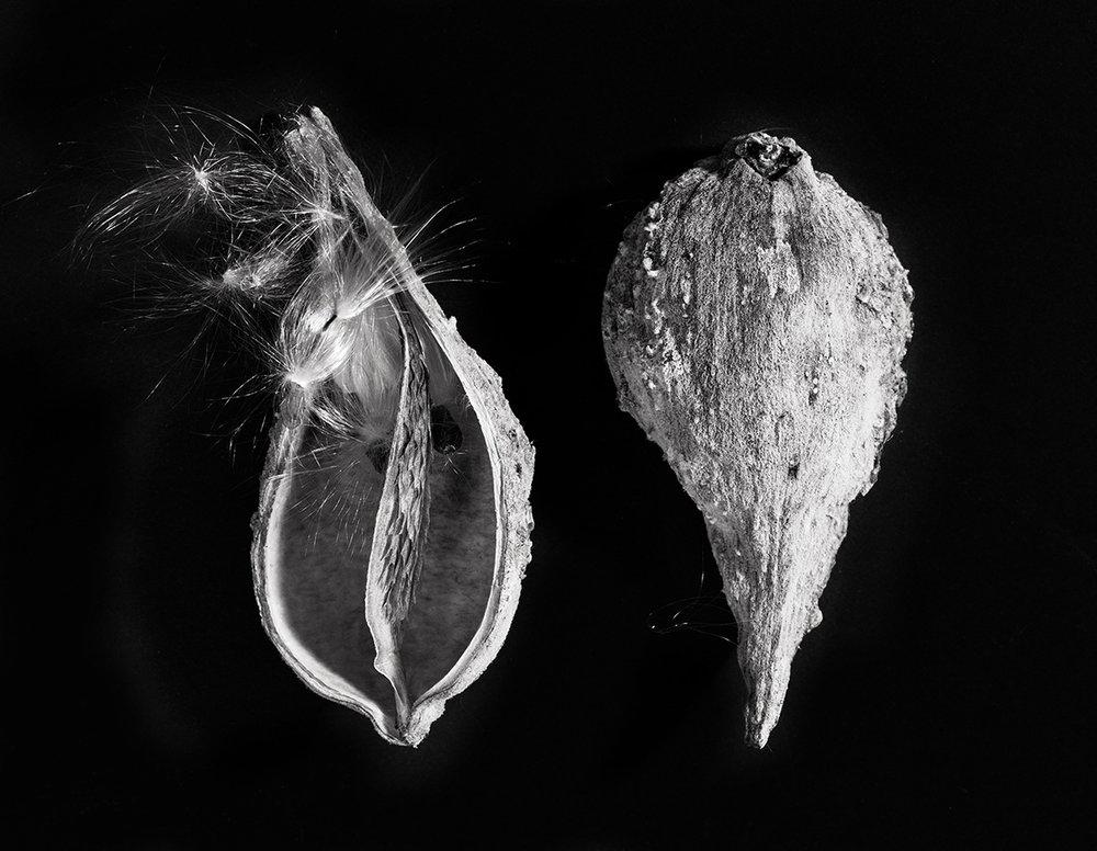 milkweed 2W.jpg
