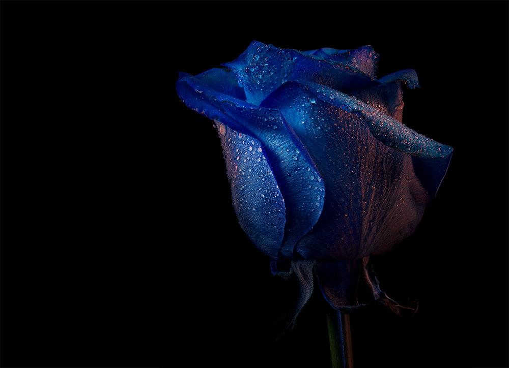 rose_03_01fpo.jpg