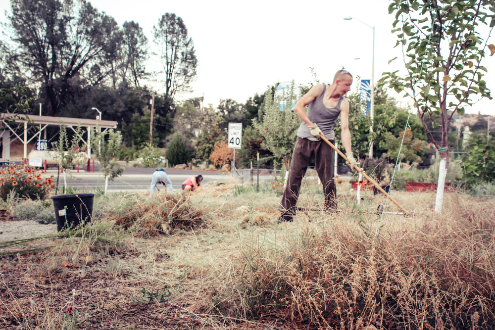Daniel raking and pulling weeds at an Evening Garden Party in the Heritage Community Garden in Shasta Lake, CA.