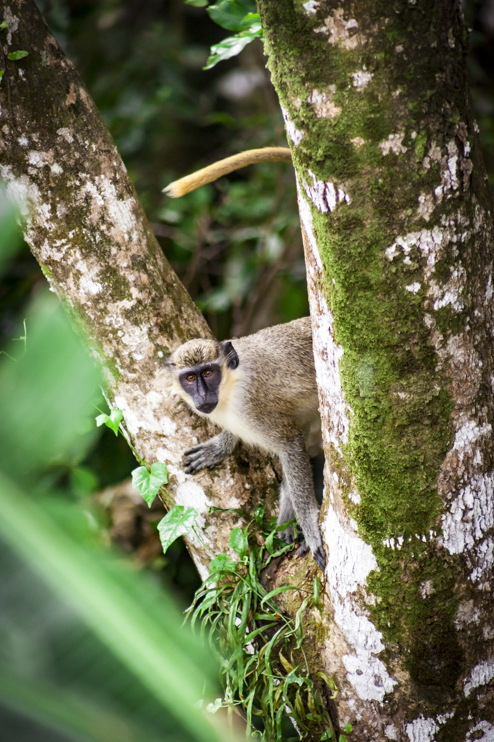 Monkey in St Kitts, Kittitian Hill