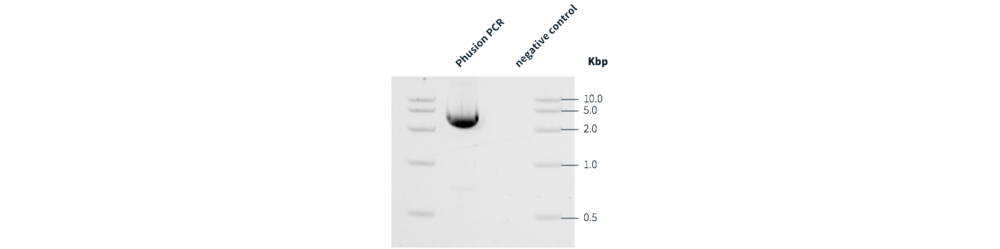 Figure 2  Phusion PCR and corresponding negative control. Phusion PCR executed using the PCR Protocol. Ten microliters of total reaction volume were analyzed by gel electrophoresis as part of the PCR Protocol for identification of target amplification. Expected amplicon size: 2895 bp.