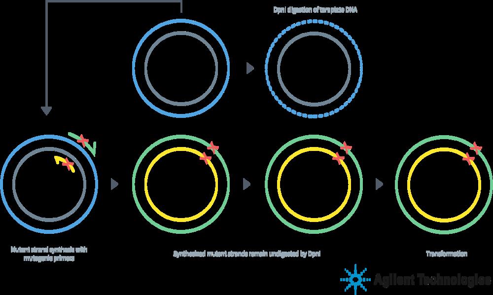 Schematic cartoon of the QuikChange mutagenesis process.