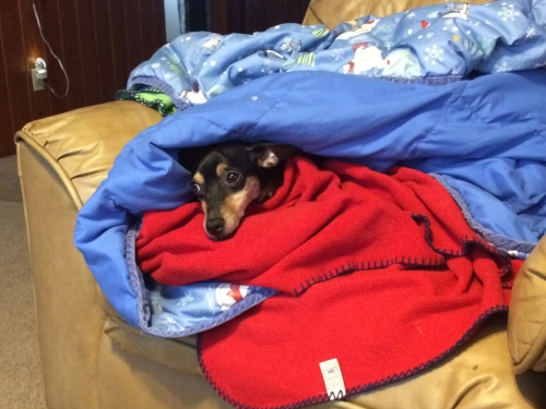 [A still image of Hank in his natural habitat: burrowed between two blankets.]