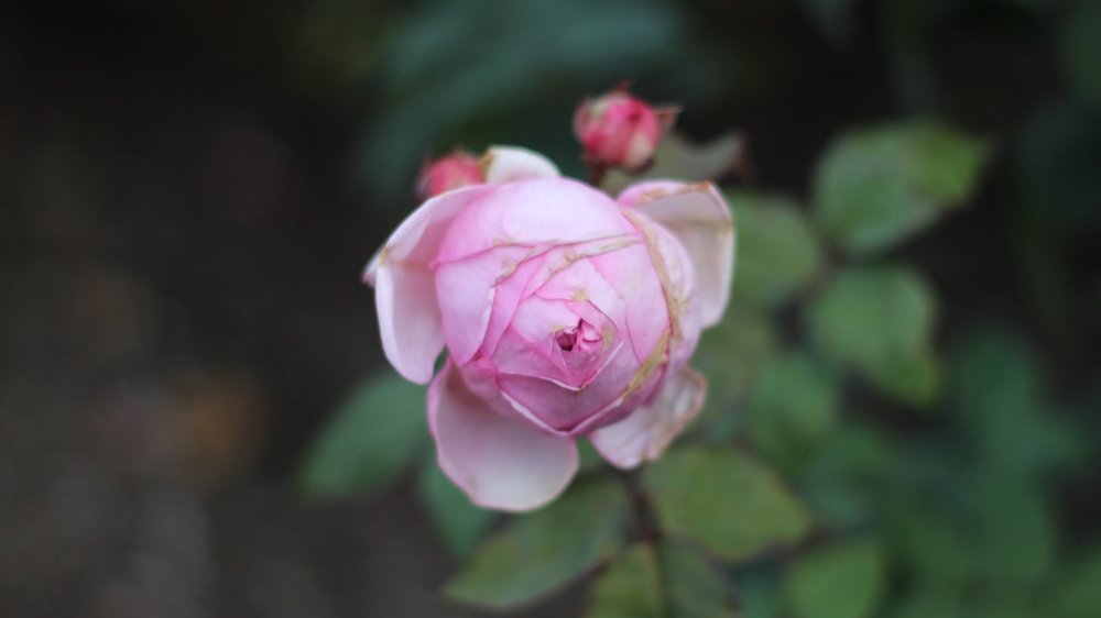 rose+-+1.jpg