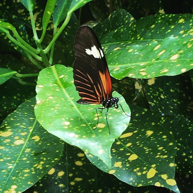 #butterly #conservatory #museum #keywestflorida #stunning #naturemedicine #slowdownweek @markstojack